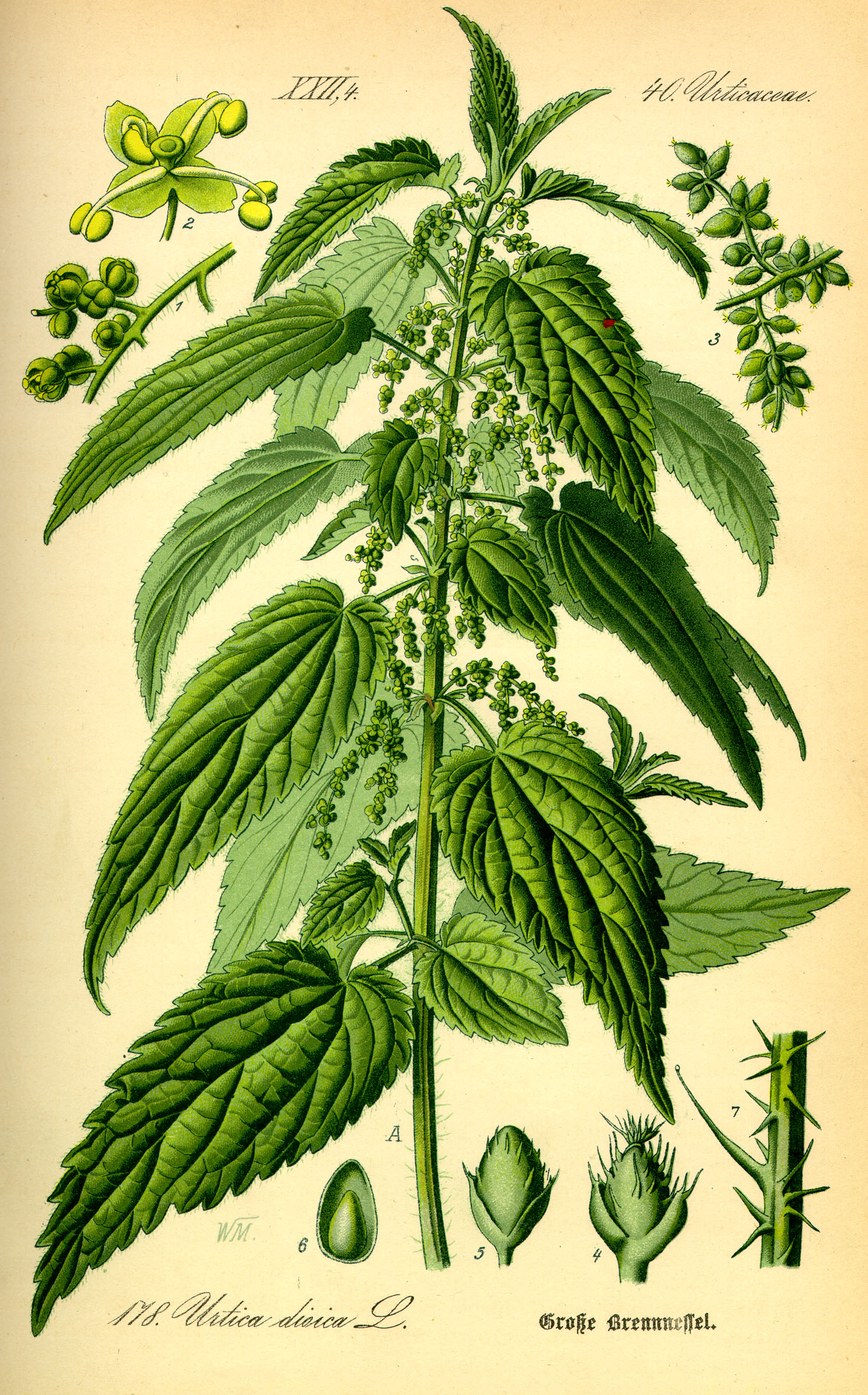 Illustration Urtica dioica0